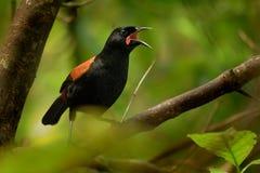 Saddleback βόρειων νησιών τραγουδιού - Philesturnus rufusater - tieke Στοκ φωτογραφίες με δικαίωμα ελεύθερης χρήσης