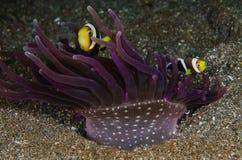 Saddleback κατάδυσης lembeh Ινδονησία σκαφάνδρων anemonefish υποβρύχιο Στοκ Εικόνες