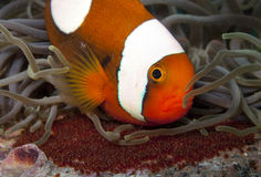 Saddleback anemone fish with eggs. A saddleback anemonefish tends to it's eggs Stock Images