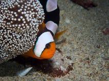 Saddleback Anemonefish με το μωρό Στοκ εικόνα με δικαίωμα ελεύθερης χρήσης