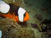 Saddleback Anemonefish με το μωρό Στοκ Φωτογραφίες
