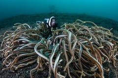 Saddleback Anemonefish στην Ινδονησία Στοκ Εικόνες