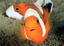 Saddleback anemonefish στο anemone Στοκ Φωτογραφία