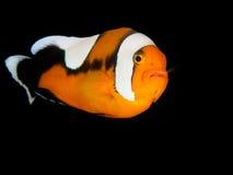 Saddleback Anemonefish Στοκ Φωτογραφία