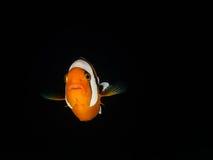 Saddleback Anemonefish Στοκ εικόνα με δικαίωμα ελεύθερης χρήσης