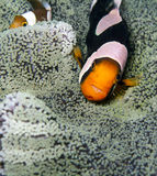Saddleback anemonefish Stock Photos