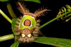 Saddleback Caterpillar image stock