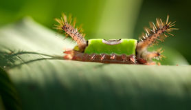 Saddleback caterpillar Royalty Free Stock Photo