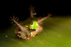 Saddleback caterpillar Stock Photos
