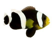 Saddleback clownfish - Amphiprion polymnus. In front of a white background royalty free stock image