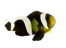 Saddleback clownfish - Amphiprion polymnus. In front of a white background royalty free stock photos