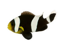 Saddleback clownfish - Amphiprion polymnus Stock Photos