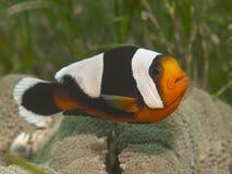 Saddleback clownfish Stock Photos