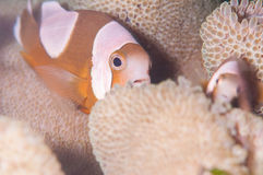 Saddleback clownfish royalty free stock photo