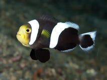 Saddleback clownfish Royalty Free Stock Images
