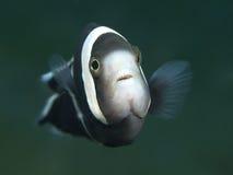 Saddleback clownfish Stock Photography