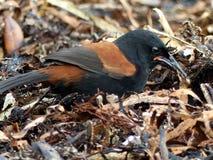 Saddleback du nord d'île - Tieke Images libres de droits