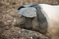 Saddleback pig. Stock Photography