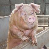 Saddleback pig Stock Photos