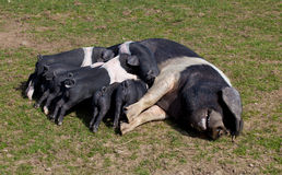 Saddleback pig with piglets feeding Stock Photos