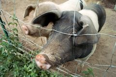 Pig snout and fence stock photo