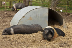 Saddleback Pigs Royalty Free Stock Image