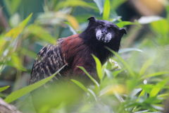 Saddleback tamarin Royalty Free Stock Photo