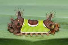Saddleback verde Caterpillar & x28; Stimulea& x29 de Acharia; Fotografia de Stock