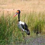 Saddlebackkran, Zimbabwe, Hwange nationalpark Arkivfoto