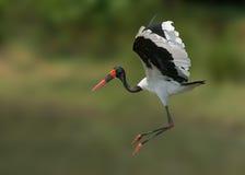 Free Saddlebill Stork Stock Photos - 19640503