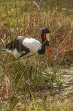 Saddlebill stork i träsket Arkivbilder