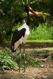 Saddlebilled Storch stockbild