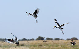 Saddlebilled Storch - Botswana Lizenzfreies Stockbild
