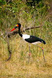 saddlebilled stork Royaltyfri Bild