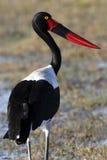 Saddlebilled Stork - Botswana Arkivfoton