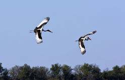 Saddlebilled Storks - Botswana Stock Photo