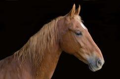 Saddlebred马 库存照片