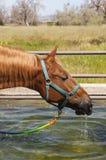 Saddlebred drinking Stock Photo