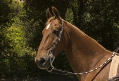 Saddlebred horse Royalty Free Stock Photos