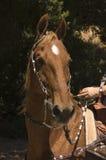 Saddlebred horse Stock Images