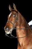 Saddlebred horse Stock Images
