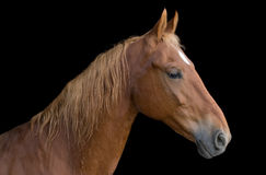 Saddlebred horse. Closeup image of a saddlebred horse over a black background Royalty Free Stock Photos