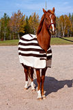 Saddlebred horse wearing a blanket Royalty Free Stock Photo