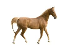 Saddlebred horse on white Stock Photography