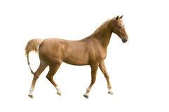 Saddlebred horse on white stock photography