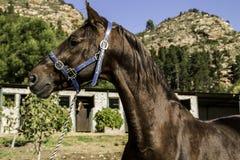 Saddlebredhengst Royalty-vrije Stock Afbeeldingen