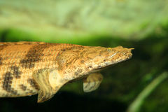 Saddled bichir. (Polypterus endlicheri endlicheri Royalty Free Stock Photography