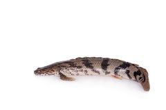 Saddled bichir on white background Royalty Free Stock Photo