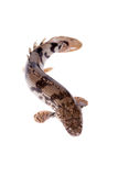 Saddled bichir on white background Stock Image