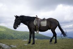Saddled black horse Stock Photography